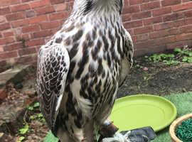 2 pair Grey falcon saker