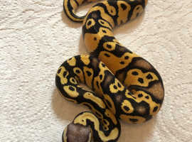 Royal python Male  hatchings for sale