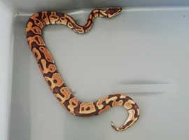 A lovely leopard ball python