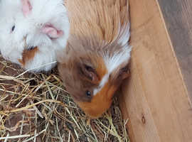 Lovely young male Guinea pig for sale £40