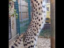 Male F6 Savannah and female Serval