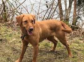 Fox Red labrador Pups, due mid-January, ready to go mid-March, stunning paernts