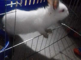 Two young rabbits free to good home
