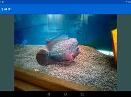 Large super dragon Kamfa Cichlid. Flowerhorn.