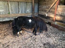 Licensed Miniature Shetland stallion