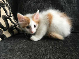 GORGEOUS GINGER/WHITE LONG HAIRED MALE KITTEN VET CHECKED CAN DELIVER
