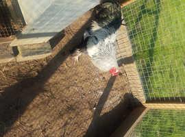 Dark silver Brahma Cockerel chick