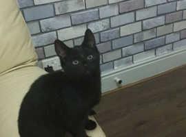14 weeks male kitten