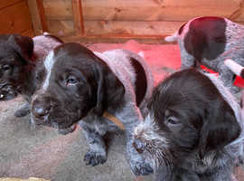 German wirehaired pointer pups