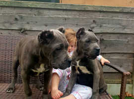 Outstanding traditional Cane Corso Italiano pups available to the right homes