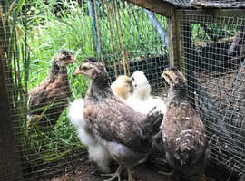 6 week old crested cream legbars hens chicks