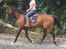 16.2 thouroughbred gelding ex race horse