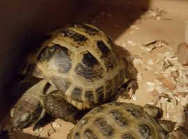 Two herman tortoises for sale