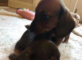 kc registered pra clear miniature smooth hair dachshunds, 2 boys left