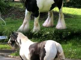Beautiful 13.3 mare