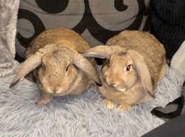 Beautiful brown sister rabbits