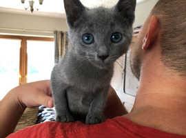 Russian Blue Kittens Full Pedigree GCCF Registered