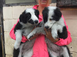 Fabulous Border Collie Pups