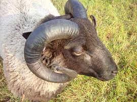 Sultan of Melbury Hill, smart looking predigree proven shearling ram