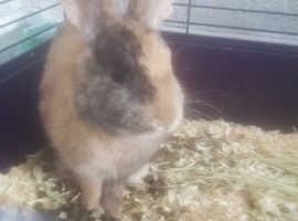 Rabbit regime Asap