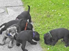 Stunning pedigree pups, KC registered. 6th generation pedigree.
