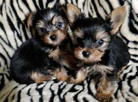 Top Quality Yorkshire terrier Male pups