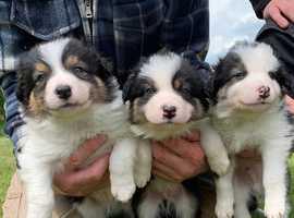 Tri Colour Border Collie puppies for sale