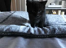Loverly black fluffy male kitten