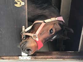Stunning welsh c mare