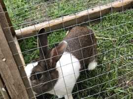 Male Dutch rabbit