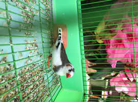 STUNNING ZEBRA FINCHES FOR SALE