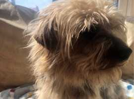 2Year old Yorkshire Terrier Male