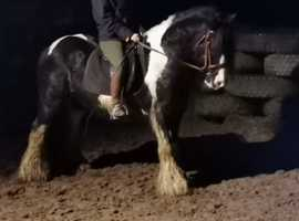 13.3hh 13 years old show cob ride and drive