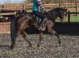 Raven 138cm British showing pony/PBA