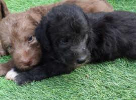 Bedlington terriers ready now