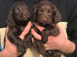 KC reg Working Cocker spaniel pups for sale