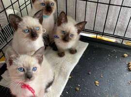 Beautiful blue eyes Siamese kittens