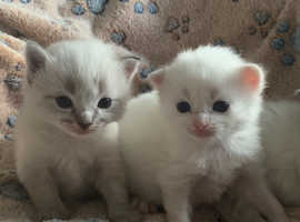 Rag doll kittens for sale