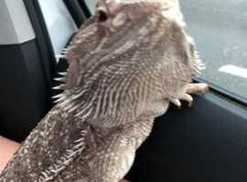 Loving bearded dragon and viv