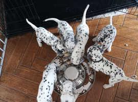 Last boy left pedigree dalmatian puppies