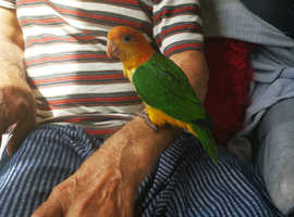 Yellow Thighed Caique Baby