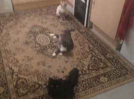 X longhaired kittens