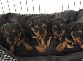 Kc registered Welsh terrier puppies