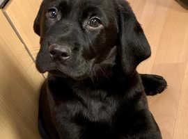 Quality black Labrador puppies for sale