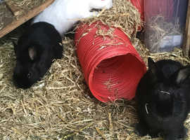 Beautiful Netherland Dwarf bunnies for sale