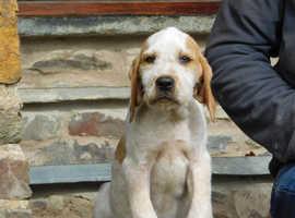 English pointer x Italian spinone puppies