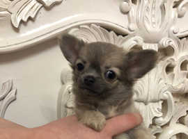 Cute tiny Chihuahua puppy puppies boy pure adorable tiny dog fluffy Ready now small dog