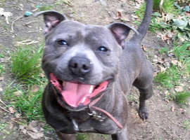 Kc registered blue staffy available for stud