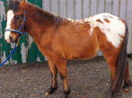 Spotted dartmoor colt