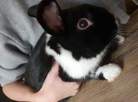 Rabbit and guinea pig for rehome